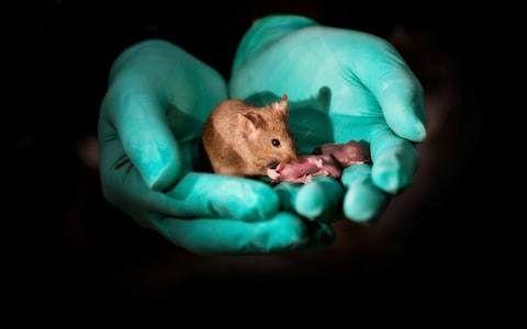 التعديل الجيني على الفئران بينما لا تزال في الرحم استخدام تقنية كريسبر في تعديل جينات ففئران قبل ولادتها أمراض الرئة التعطيل الجيني