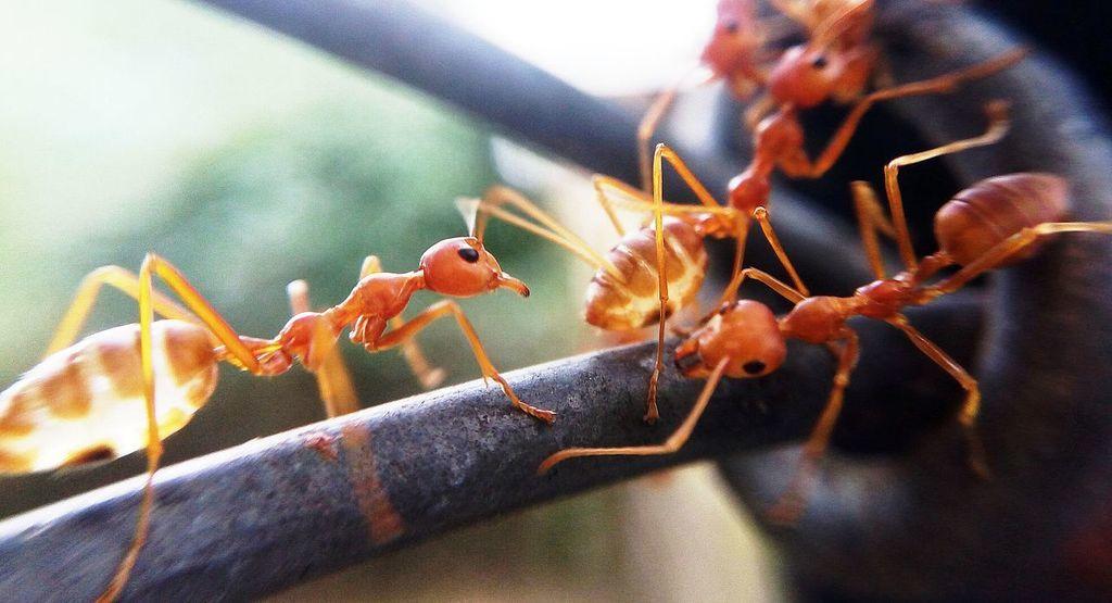 تعرّف على النمل المتفجر: يفجر نفسه بأعدائه!!