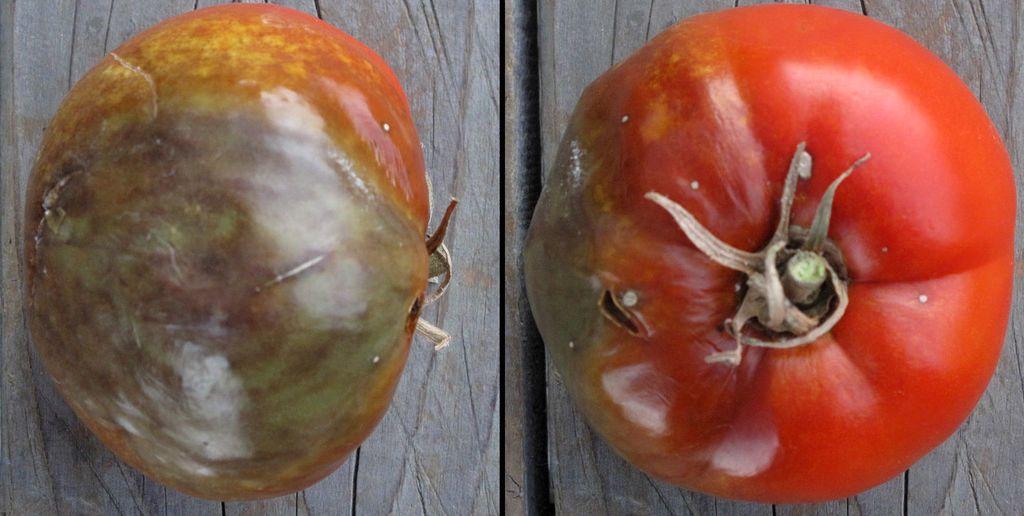 اللفحة المتأخرة في البطاطا و الطماطم الفطريات الدرنات الأبراغ العدوى الأمراض النباتية مسببات الأمراض البراعم حوامل الأكياس البوغية