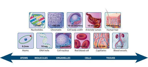 مقياس نسبي للجزيئات والبنى البيولوجية البكتيريا