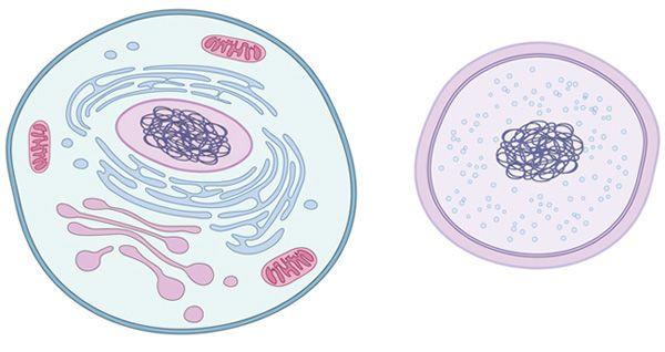 الفروق بين الخلايا بدائية وحقيقية النوى