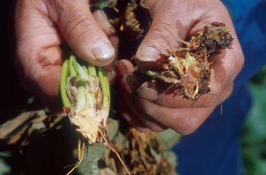 معالجة الذبول الكبكوبي ما هو الذبول الكبكوبي وكيف نقوم بإصلاح هذا الضرر الأمراض التي تصيب النباتات ذبول النبات الفطريات التربة