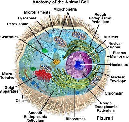 حقيقيات النوى الخلية الحيوانية المتعضيات غشاء هيولي