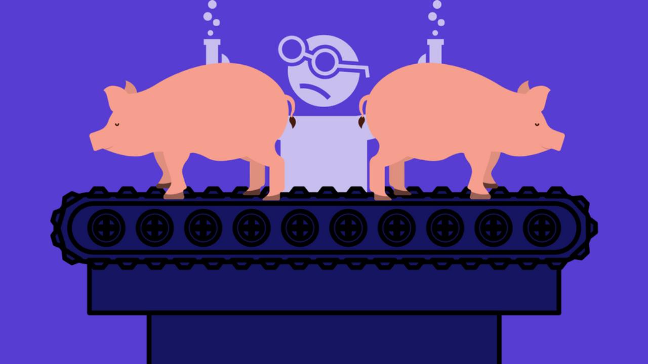 الخنازير المعدلة جينيا بالخلايا البشرية animalsweneverhad-12