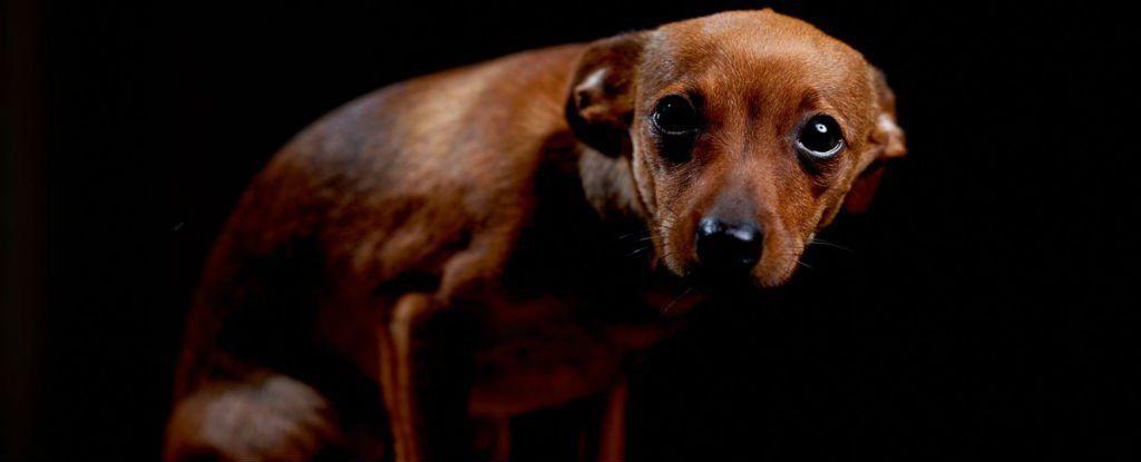 """عندما ينظر إليك كلب بنظرة """"المذنب"""" هل يعني ذلك أنه مذنب حقًا؟!"""