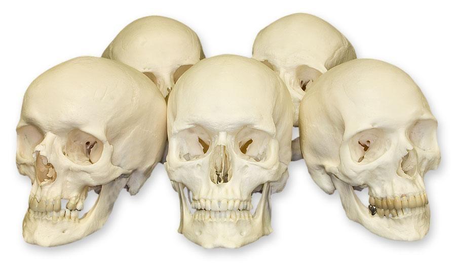 كيف تطورت الجمجمة البشرية بالتزامن مع المشي على القدمين ؟