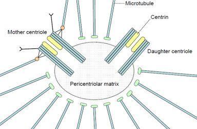 الجسيم المركزي ما هو الجسيم المركزي في الخلية ما هي وظيفة الجسيمات المركزية ضمن الخلايا الحية الخلية الحيوانية انقسام الخلايا