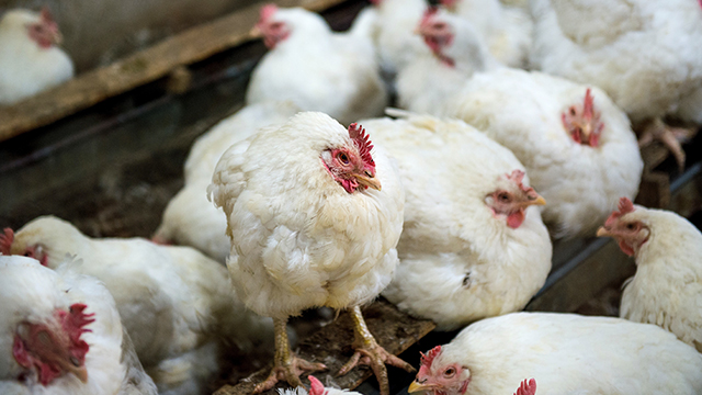 إنفلونزا الطيور H5N1