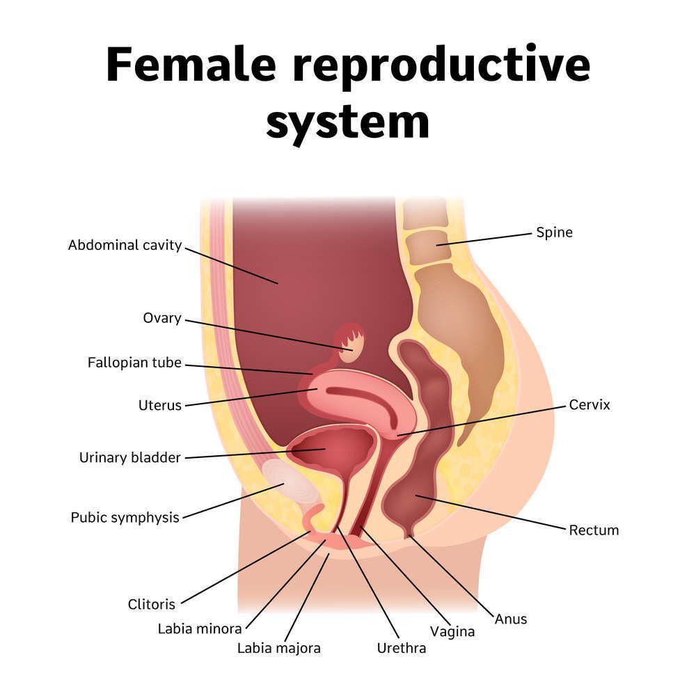 موقع فتحة البول لدى المرأة وبنى تشريحية أنثوية أخرى مجهولة لدى الكثيرين أنا أصدق العلم
