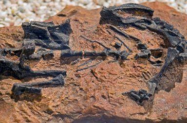 يعتقد العلماء أن هذا الديناصور (موسوروس باتاجونيكس) زحف قبل أن يمشي فصيلة السحليات القارضة جنس الصوروبودات تطور نمو الديناصورات