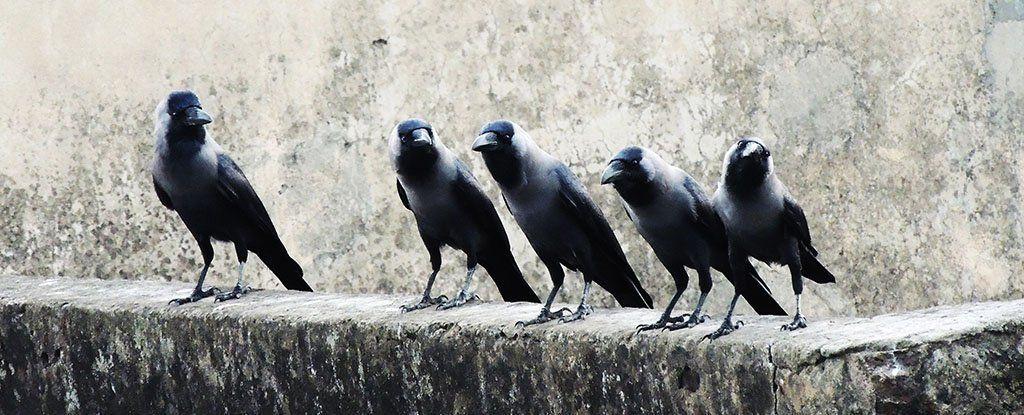 هل الغربان والغربان السوداء أصدقاء؟
