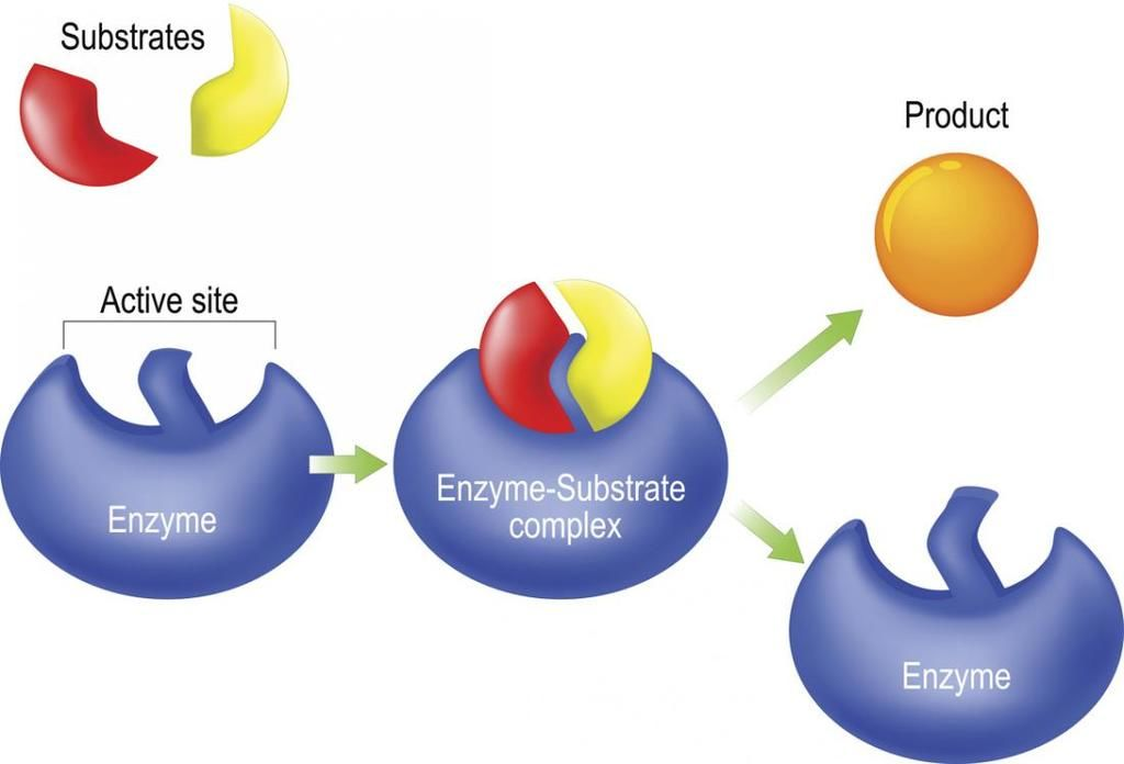 Enzymes work functions and examples