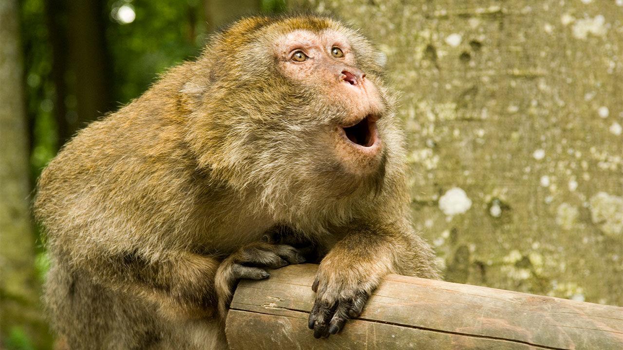لماذا لا تتكلم القردة ؟