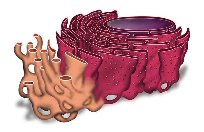 ما هي الشبكة الإندوبلازمية الخشنة في الخلية ؟
