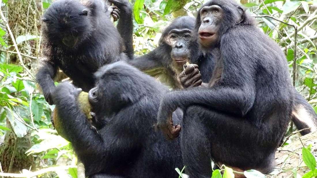 سلوك غير مسبوق: البونوبو يشارك الطعام مقابل مداعبة أعضائه التناسلية