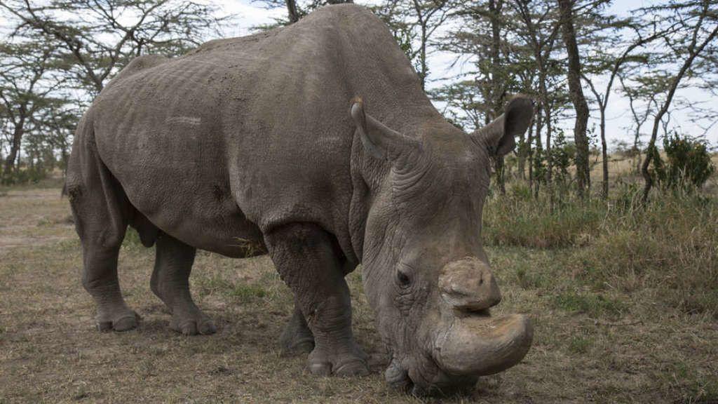 أملٌ جديد لآخر حيواني وحيد قرن أبيض شمالي