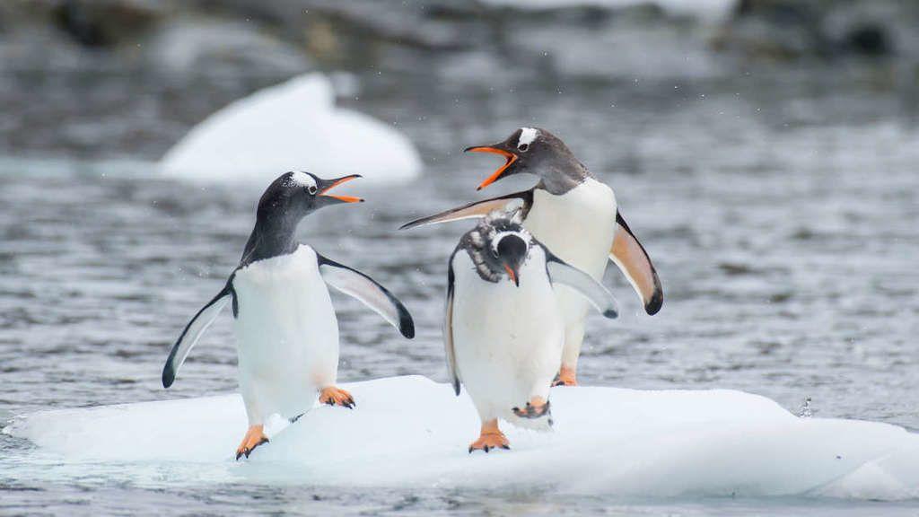اكتشاف بكتيريا مقاومة للمضادات الحيوية في طيور البطريق وغيرها من الطيور