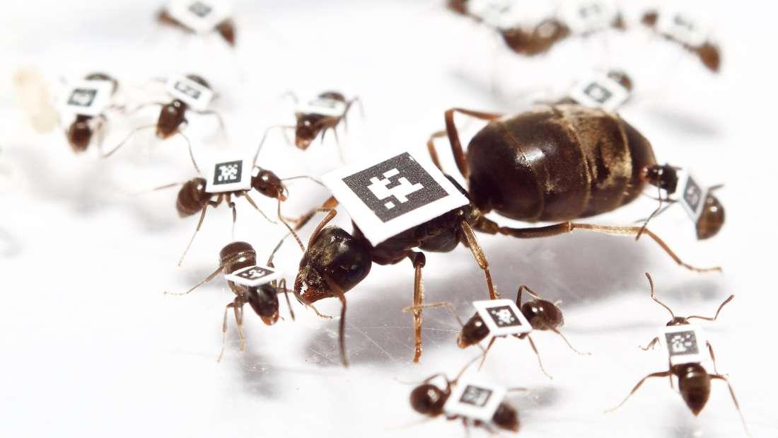يغير النمل سلوكياته لمقاومة الأمراض الوبائية