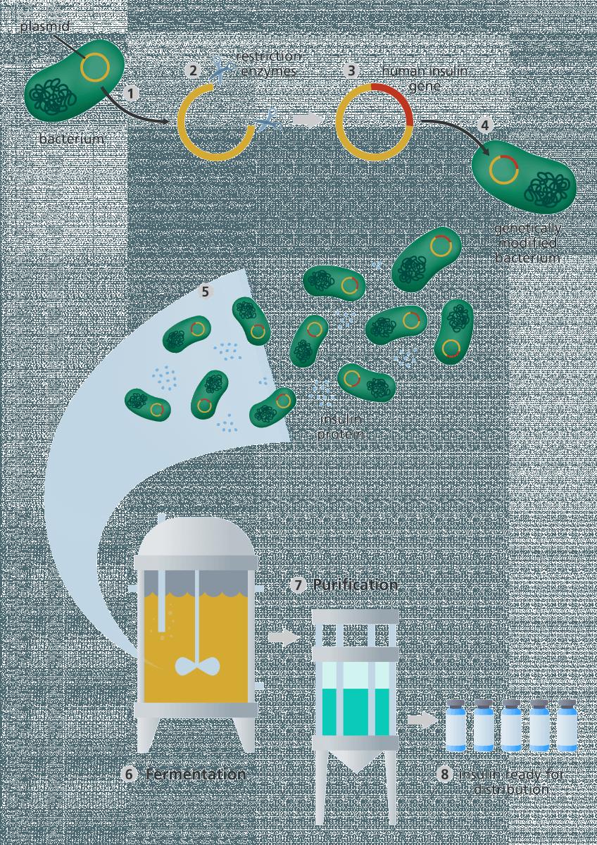 رسم يوضح كيفية استخدام التعديل الوراثي لإنتاج الإنسولين في البكتيريا.