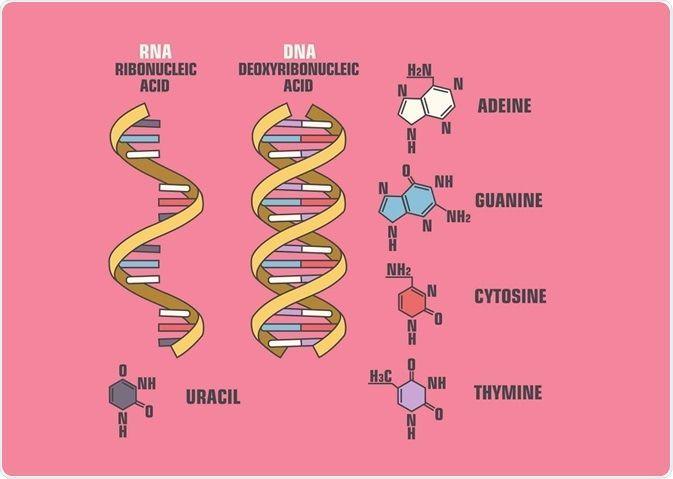 الحمض النووي الريبوزي (الريبي) RNA الحمض النووي الريبوزي الناقل نقل المعلومات داخل الخلية الحية عبر البروتين الRNA المرسال الرسول الجينات