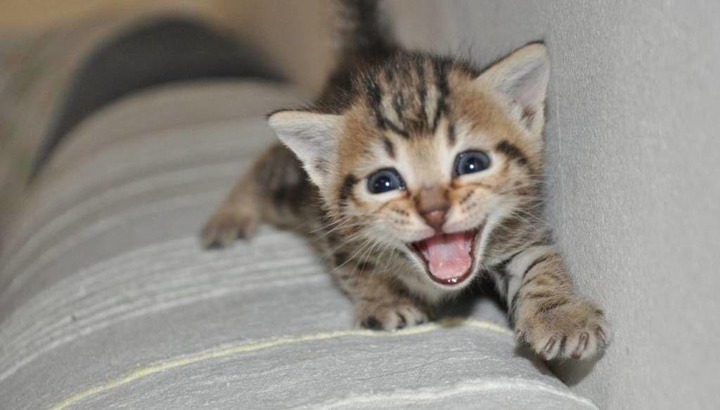 ما هي أسباب خرخرة القطط المنزلية ؟