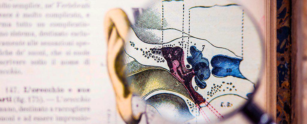 اكتشاف ثلاث أنواع من الخلايا السمعيّة الجديدة