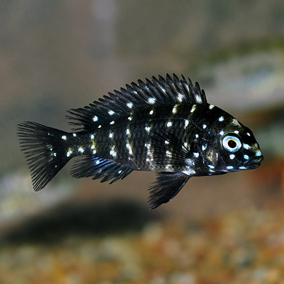 تستطيع هذه الأسماك تكوين أنواع جديدة كليًّا عندما تتزاوج - أسماك السيكليد cichlids - ظهور أنواع جديدة بالكامل من الأسماك بعد التزاوج