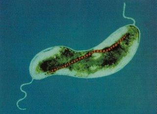 قفزة علمية جديدة في مجال علاج السرطان « البكتريا الممغنطة تحمل الادوية المضادة ل السرطان الى الاورام »