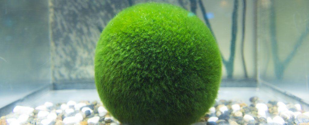 لماذا تطفو كرات الطحالب هذه خلال النهار وتغرق عندما يحلّ الليل؟