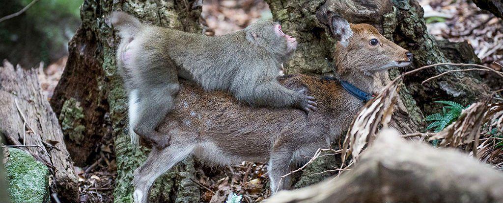 لماذا حاول القرد ممارسة الجنس مع غزال؟ الطبيعة تفاجئنا يومًا بعد يوم