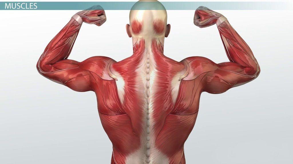 كيف تعمل العضلات؟ معلومات جديدة تثير حماس العلماء