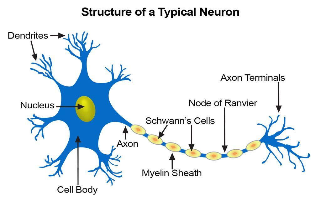 الأعصاب