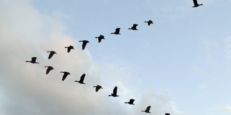 لماذا تحلق الطيور المهاجرة على شكل الحرف V؟