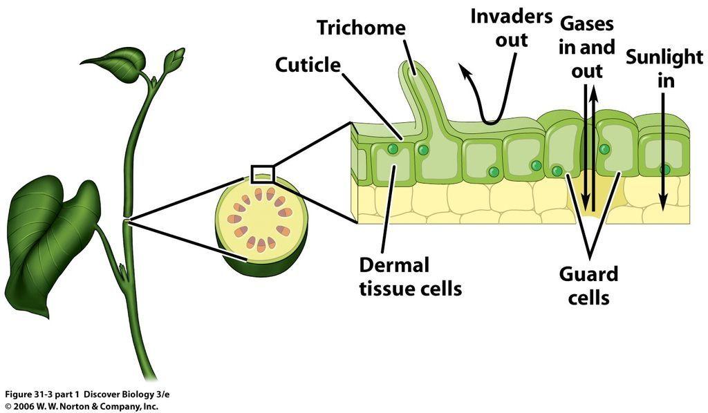 الأنسجة الجلدية الأنسجة النباتية