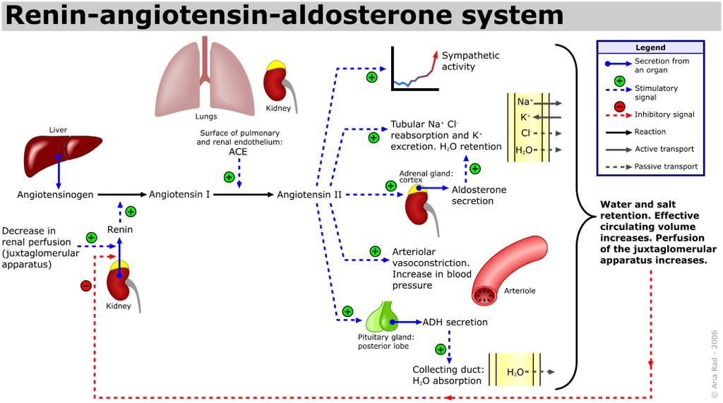 نظام الرينين - أنجيوتنسين - ألدوستيرون