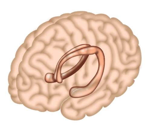 الحصين hippocampus هو منطقة من الدماغ مسؤولة إلى حد كبير عن تشكيل الذاكرة