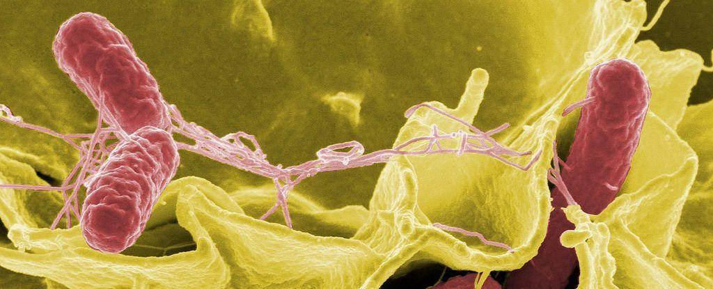 السالمونيلا من مسبب للحمى الى قاتل للاورام الدماغية