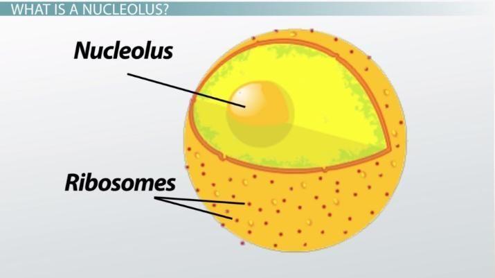 ما هي النوية ما هي وظيفة النوية في الخلية الحية نوية داخل نواة الخلية الحمض النووي الريبوزي الريبوسومي البروتين الفلوري البروتينات
