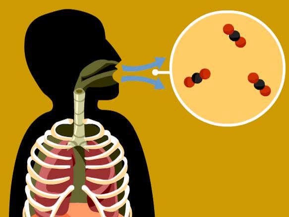 معدل التنفس الطبيعي عند البالغين والأطفال التوازن بين نسب الأكسجين وثاني أكسيد الكربون استنشاق الهواء عبر الرئة معدل استنشاق الهواء