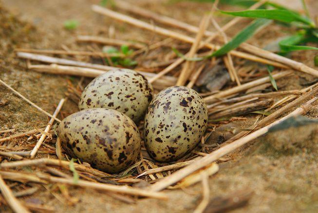 تعلمنا للتو أن صغار الطيور تتواصل مع بعضها من داخل البيوض التي لم تفقس بعد!