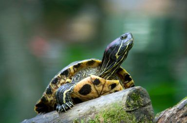 قلوب بعض الحيوانات يمكن أن تتأقلم من أجل العيش دون أكسجين كيف تستطيع بعض السلاحف العيش في بيئة خالية من الأكسجين درجات أكسجين منخفضة