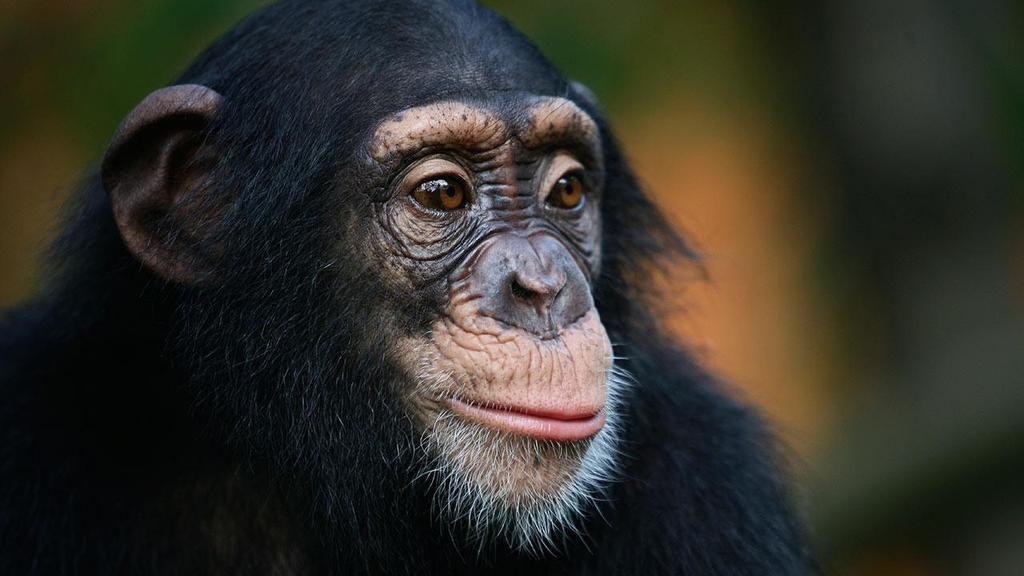 قردة الشمبانزي التنوع الثقاقي البشر البشرية