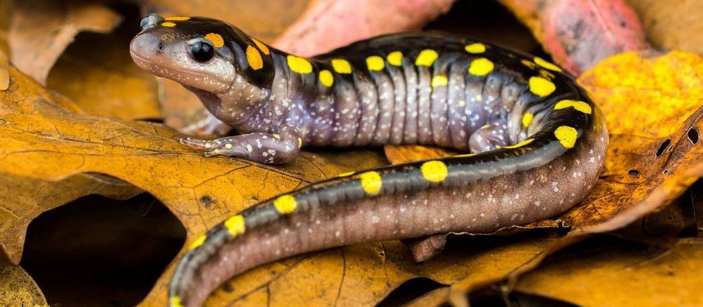 ما هي البرمائيات ما هي الحيوانات البرمائية شعبة البرمائيات في المملكة الحيوانية الضفادع السلمندر مجموعة الكائنات التي تعيش على اليابسة وفي المياه