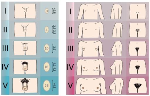 مراحل تانر للبلوغ عند الإناث