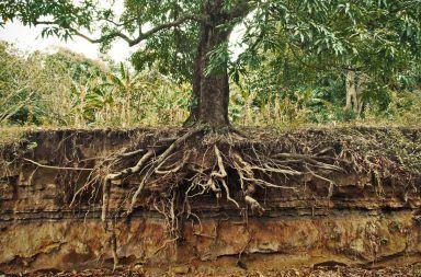 كيف تنقل الأشجار الكبيرة الماء من جذورها إلى الأوراق الأوعية الخشبية الماء والمواد الغذائية الأنسجة الموصلة في الجذور جذع الشجرة