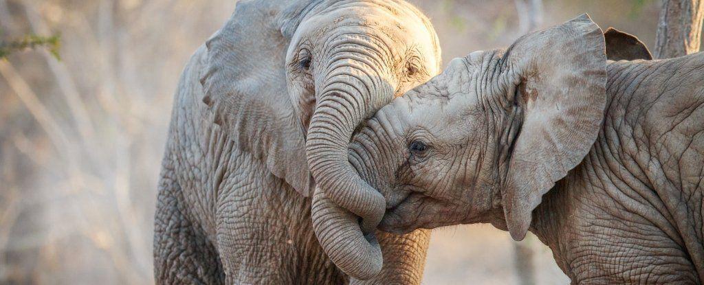وأخيرًا يمكننا معرفة لماذا لا تصاب الفيلة بالسرطان