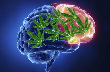 الماريجوانا الدماغ المادة الرمادية